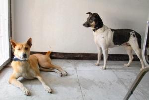Koiramme Alfa ja Jössi. Vasemmanpuoleisen Alfan sain pelastettua Suomeen asti, Jössin menetin.