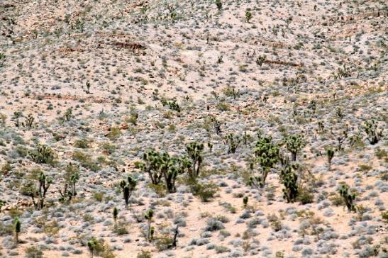 Arizonan aavikolla näkyi Joshua Treen kansallispuistosta tuttuja joosuanjukkapuita.