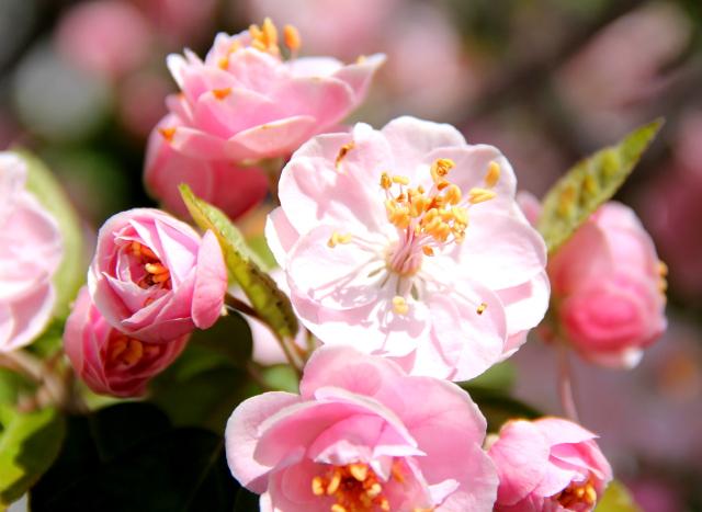 Kirsikankukkia motellimme pihassa huhtikuussa.