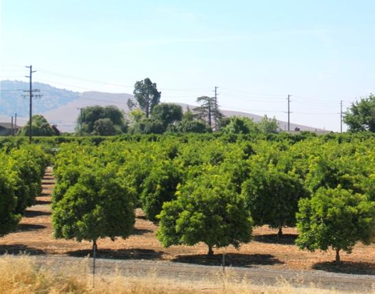 Appelsiinipuita Visaliassa. Sierra Nevadan länsipuolella vaikutti olevan Kalifornian viljelysmaat.