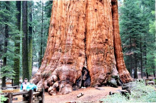 Maailman suurimman puun juuret.