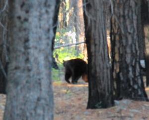Mustakarhu ehti puiden taakse ennen kuin sain kuvia siitä.