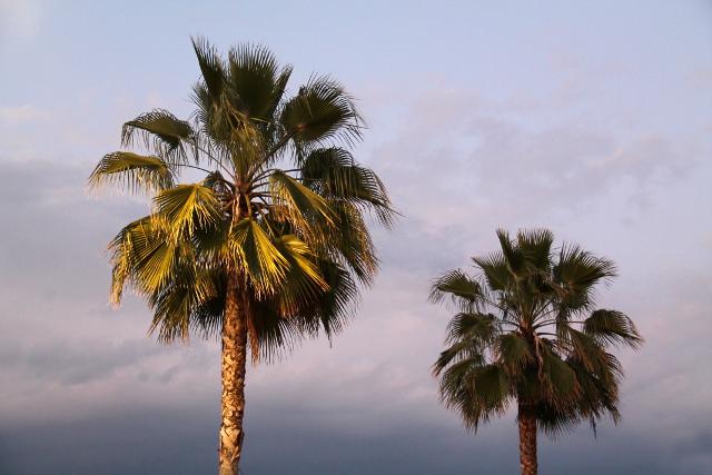 palmut kaliforniassa