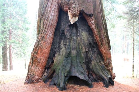 Punapuun juuri. Sequoien siemenet eivät avaudu ilman metsäpaloja.