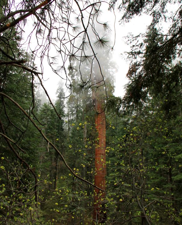 Sequoia ja männyn oksa.