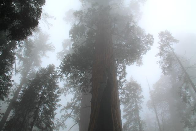Sequoiat sumussa, ne saavat otettua usvasta kosteutta talteen.