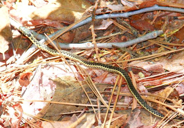 Polun vieressä oli pieni käärme, varmaankin sierran sukkanauhakäärme.