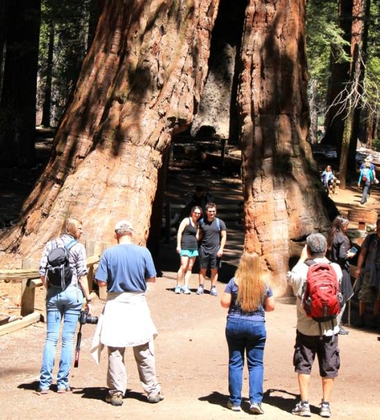 The California Tunnel Tree. 1800-luvun lopussa luontomatkailu oli niin järjetöntä että turisteja houkuteltiin ekstrahauskuutuksilla kuten puun läpi menevällä tiellä.