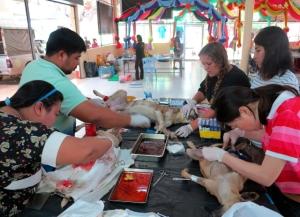Lanta Animal Welfare järjesti sterilointiklinikan Krabin tiikeritemppelille.