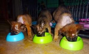 Nämä kolme pentua tuotiin meille Krabin tiikeritemppeliltä, missä isot koirat olivat pureskelleet niitä ja pennuilla madonsyömiä haavoja. Haavat hoidettiin ja nyt jokainen on adoptoitu, kaksi vielä odottaa meillä koteihinsa matkustamista.