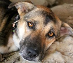 Rune-koira ei halunnut nousta kuvanottoa varten, kun kuopassa oli viileämpi maata.