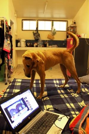 Rolo vierailulla kotonamme. Rolo on vanhempieni Wispa-koiran sisko ja asuu nyt Walesissa.