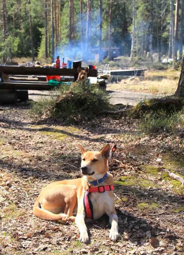 Koirat makoilivat nuotiopaikalla.