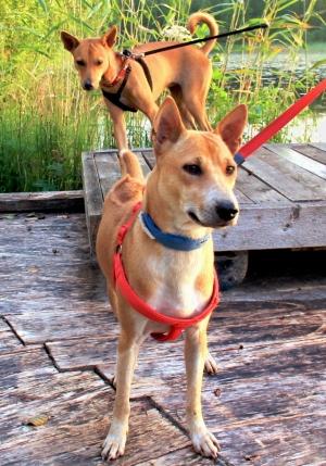 Toin Alfan Suomeen yhtä aikaa Wispan kanssa. Alfa olisi ollut valmis matkustamaan jo kesäkuussa 2015, mutta jäimme Koh Lantalle odottamaan Wispan valmistumista. Aloitimme Alfan prosessin Chiang Maissa helmikuussa 2015, hänet oli tuotu Care for Dogsin turvatarhalle lokakuussa 2014.