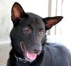 Ihana Brutus on Lanta Animal Welfarella odottamassa, että se pääsee matkustamaan Sveitsiin. 90 päivän aikana ei tarvitse olla eristyksissä muista koirista.