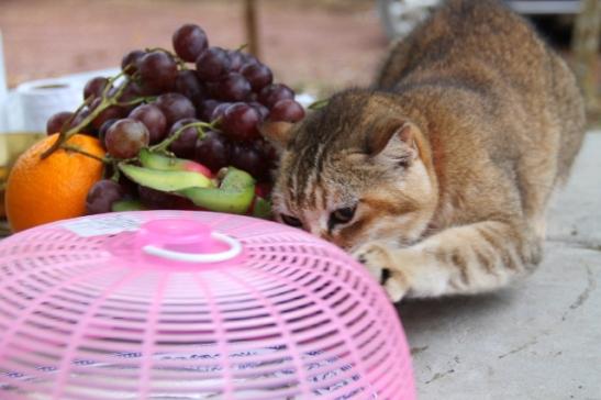 kissa haluaa syödä