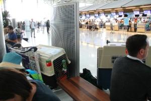 Odottelua Bangkokin lentokentällä ennen koirien viemistä over-size baggage -tiskille.