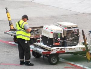 Koirat odottamassa lentokoneeseen lastaamista.