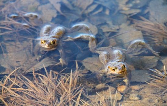 Lampi kuhisi sammakoita. Rupikonnilla oli kutuaika ja ne uivat ja pitivät ääntä.