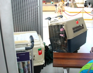 Koirat kopissansa, kun odottelimme Suvarnabhumin lentokentällä.