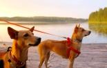 Nämä koirat toin Suomeen elokuussa 2015. Oikealla Wispa, vasemmalla Alfa.