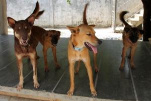 Brownien jengi ollessaan vielä tarhalla Thaimaassa. Vasemmalla Brownie, joka on nyt Suomessa, Monroe, joka on Ranskassa, Rolo, joka on Walesissa ja Ivy, joka on Englannissa. Kaikki matkustivat uusien omistajiensa luo lentovapaaehtoisten mukana. Kaikkien omistajat tapasivat koiransa Koh Lantalla adoptiosta päättäessään.