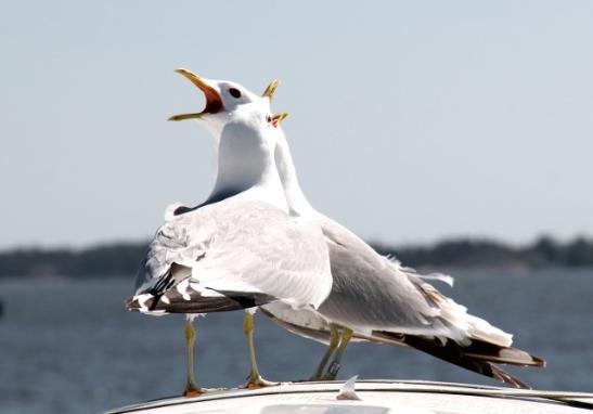 Lokkeja sitä vasta inhotaankin, mutta ne ovat upeita lintuja, joiden äänestä tulee heti meritunnelma.