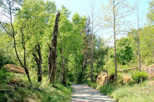Polku ja mukavasti pystyyn jätettyjä puunrunkoja.