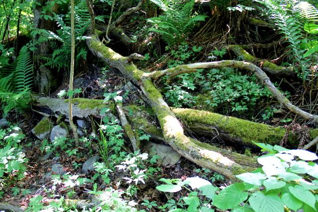 Tällaiset sammaloituneet puunrungot toivat aidon metsän makua Vallisaareen.