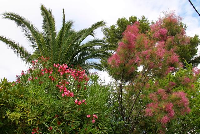 roosanvärisiä kasveja cassisissa