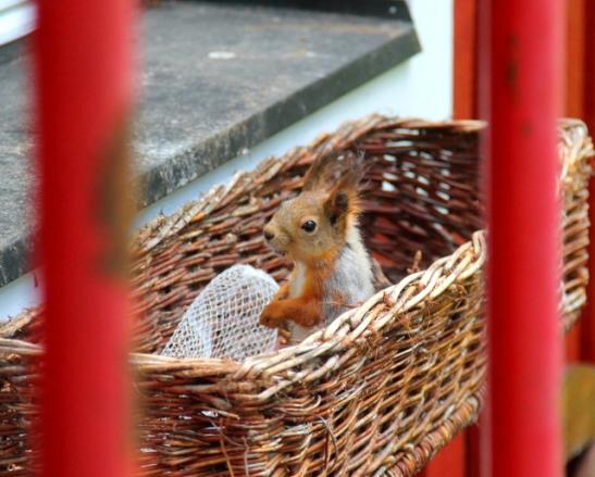 orava ikkunalaudalla