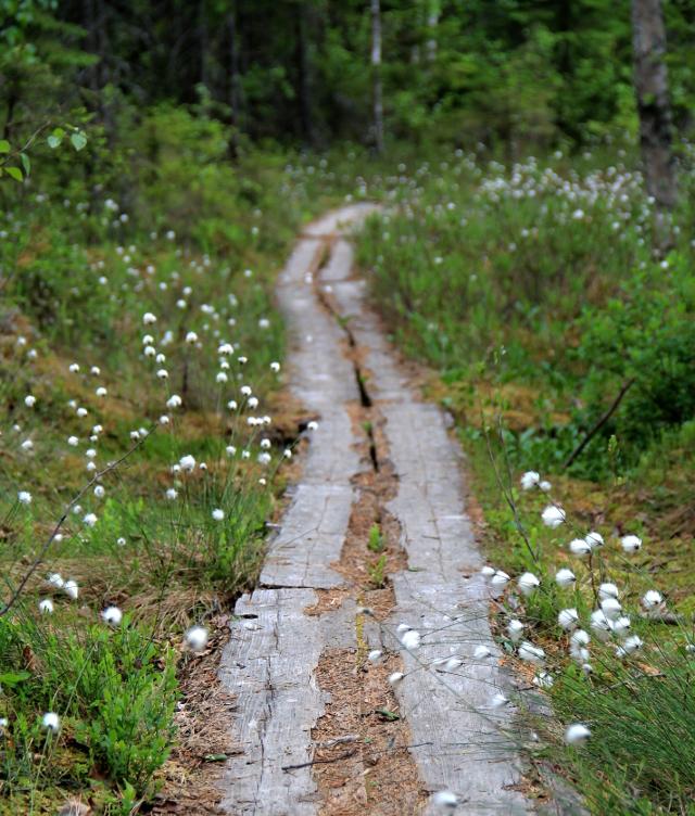 Tupasvillojen reunustamat pitkospuut, joilla on mielestäni aina yhtä ylellistä kävellä.