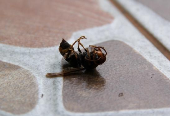 Aluksi luulin, ettei Thaimaassa olisi lainkaan ampiaisia. Sitten kun niitä on ollut, eivät ne ole niin uteliaita ja aggressiivisia kuin Suomessa.