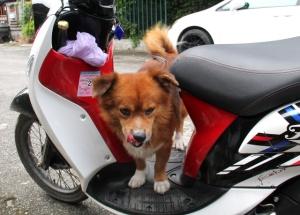 Duu Duu on koira, joka elää entisen vuokrakämppämme  kadulla. Pidimme siitä huolta pesemällä sitä, antamalla loishäätöjä ja nyppimällä punkkeja pois. Muu henkilö huolehti ruokkimisesta. Nyt oli ihana jälleennäkeminen ja ilokseni huomasin jonkun muun huolehtineen Duu Duun pesemisestä.