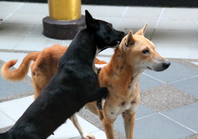 Toinen koira kirputtaa toista Doi Suthepin temppelillä Chiang Maissa. Kunpa Thaimaan temppelit olisivat koirien turvapaikkoja, joissa niistä pidettäisiin huolta. Monessa näin onkin, vaihtelevalla tasolla, mutta joissain koiria ei hyväksytä.