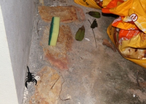 Tämän takia olisi parempi sörkkiä ulkona säilytettäviä tavaroita ensin kepillä, koska niistä voi löytyä skorpioni, juoksujalkainen tai käärme. Tässä skorppioni talon kulmalla hiekkasäkkien vieressä. Tämän jälkeen ostin isot muovilaatikot pussien säilyttämiseen.