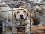 Häkissä koiria, jotka olivat matkalla Vietnamiin. Nämä koirat pelastettiin koiranlihakaupalta, mutta ne on riistetty omistajiltaan, joiden luokse niitä ei tiedetä enää palauttaa. Kuva: Soi Dog Foundation.