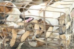Koiranlihakauppa on kamalan julmaa. Kuva: Soi Dog
