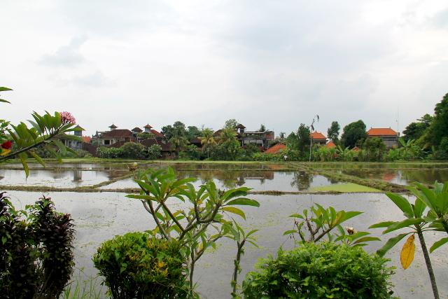 Yllätyksekseni ihan Ubudin keskustassakin on tämmöisiä riisipeltoplänttejä. Balilla kasvatetaan riisiä kaikkialla missä tilaa liikenee. Tämmöistä löytyy Hanuman- ja Monkey Forest -katujen väliseltä alueelta.