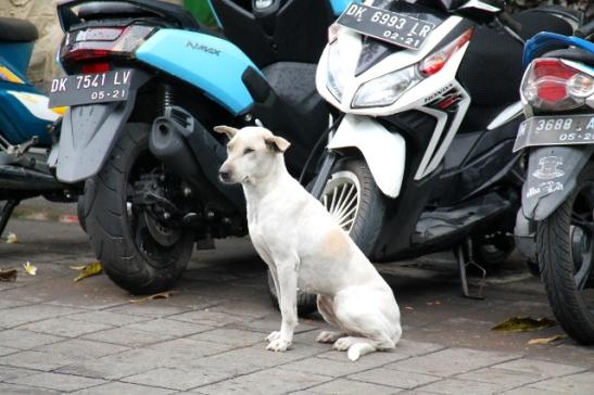 Tämä koira kiinnitti huomiomme Ubudin keskustassa, kun se nakotti paikallaan liikenteen vieressä ja tuijotti kadun toiselle puolelle. Siellä oli balilaisen eläinsuojelujärjestön Bawan toimisto ja kymmenen minuutin päästä siellä oli ruokinta-aika ympäristön katukoirille. Sitä tämä valkoinen kaunistus odotti.