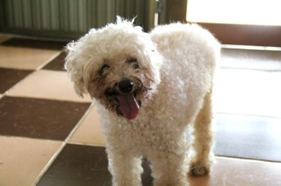 Toinen vahtimistani koirista, 16-vuotias sokea ja kuuro tyttö.