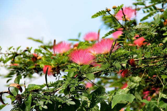 Sadepuun kukkia, jonkinlainen mimosoihin kuuluva albitsia.
