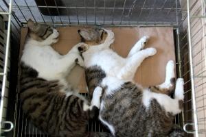 Hyvä että nämä kaksi valtavaa kollia saatiin steriloitaviksi, ne olisivat ehkä ehtineet saattaa kovin monet kissaneidit raskaaksi uudelleen ja uudelleen.