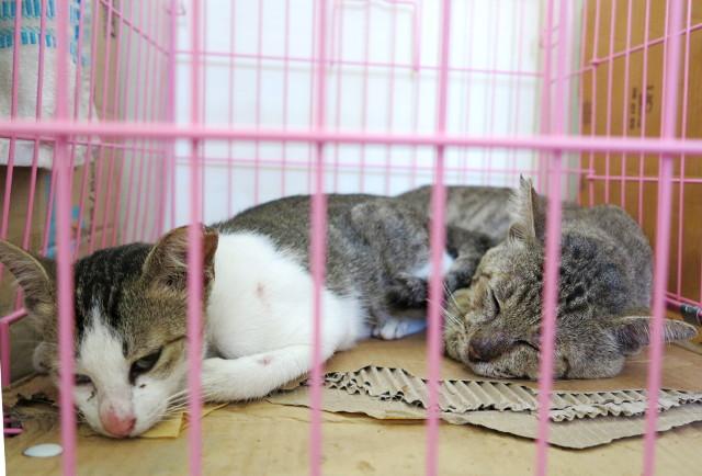 kaksi-kissa-toipilaina-trawangan