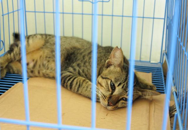 Kissa heräilemässä leikkauksen jälkeen.