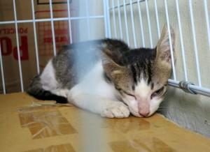 Heräilevä kissa leikkauksen jälkeen.