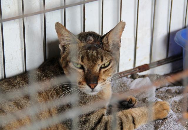 Toinen kissapotilas. Tämän päässä oli ammottava haava.