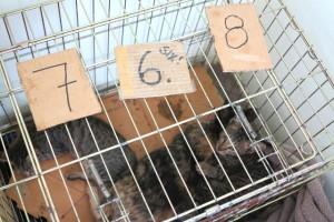 Jokainen kissa sai klinikalle tullessaan numeroinnin ja tietojen kirjaamisen ylös. Tässä on kissaperhe virkoamassa samassa häkissä leikkauksen jälkeen.