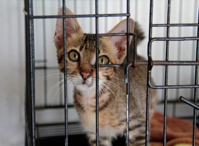 Yksi Lutwalan kissapotilaista. Tämä steriloitiin nyt järjestetyn klinikan aikana ja on valmis uuteen kotiin.