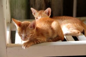 Pari pientä kissaa, jotka jäivät odottamaan seuraavaa sterilointiklinikkaa.